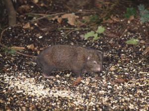 clark-the-mountain-beaver